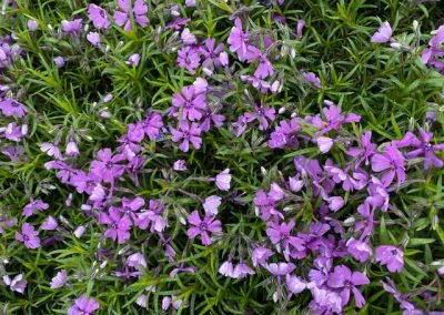 Crewing phlox